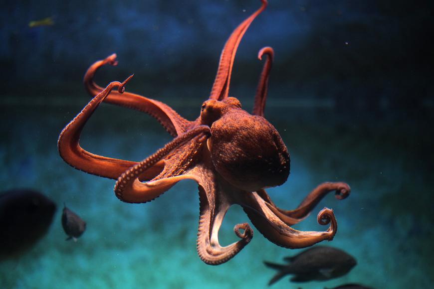 Hobotnice