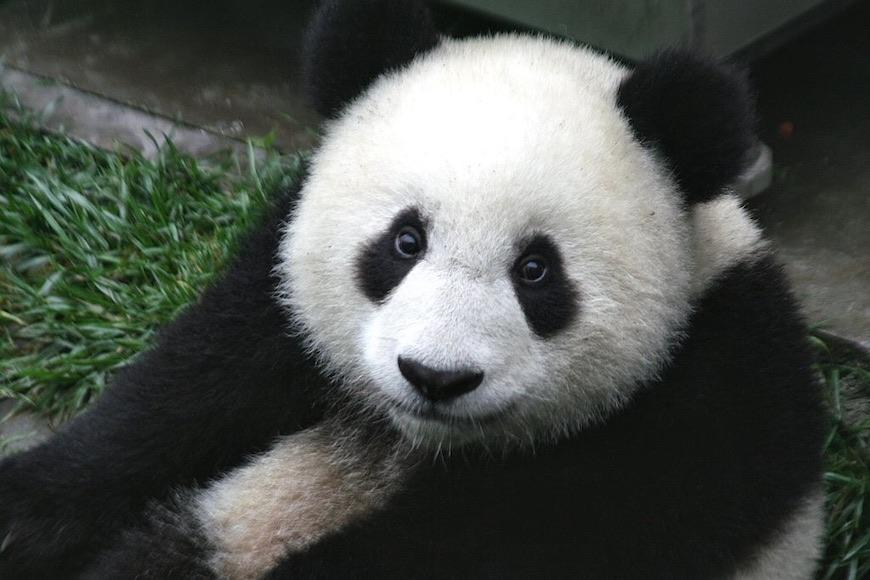 Zašto su pande crno-bijele