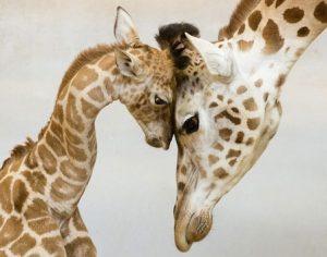 žirafa mama i beba