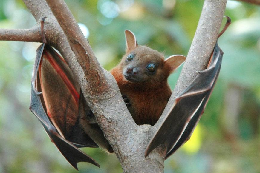 Šišmiši čuvaju nas, našu prirodu i našu hranu, a mi njih?
